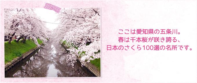 ここは愛知県の五条川。春は千本桜が咲き誇る、日本のさくら100選の名所です。